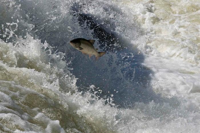 Семга выпрыгивает из воды