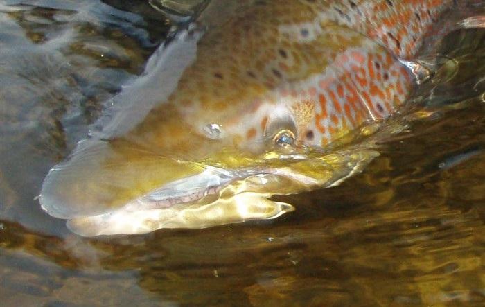 Фото семги в воде