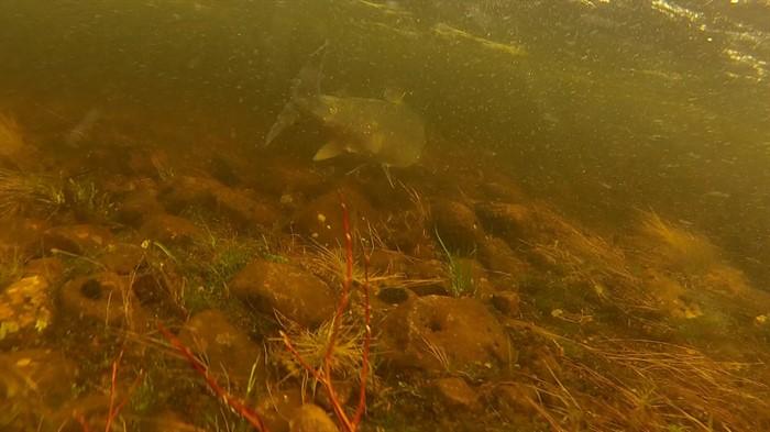 Семга под водой фото